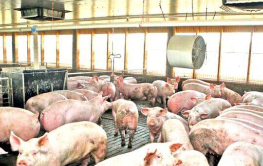 Focare de pestă porcină în Gorj
